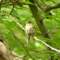 Acadian flycatcher in the forest