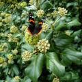Red Admiral Butterfly on English Ivy by Matt Jones