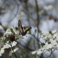 Eastern Tiger Swallowtail on Dogwood