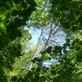 succesional forest canopy