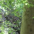 Smooth American beech bark, with grafitti