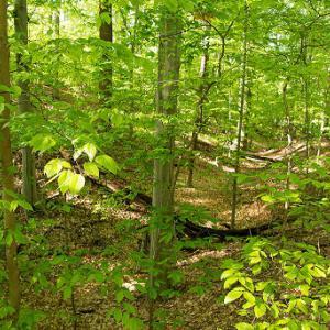 mesic mixed hardwood forest