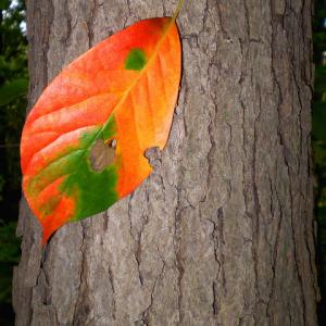 Blackgum leaf and bark in autumn