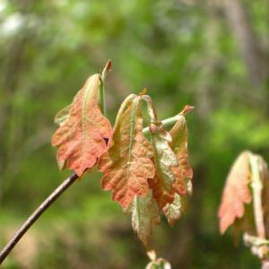 new white oak leaves