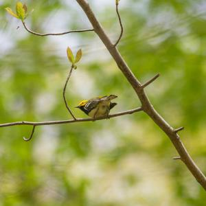 Black-throated green warbler on blackgum
