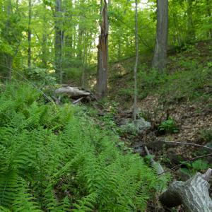 New York fern in a Basic Mesic Hardwood Forest