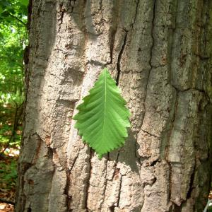 Chestnut oak leaf and bark