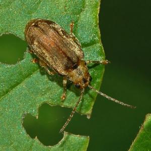 viburnum leaf beetle